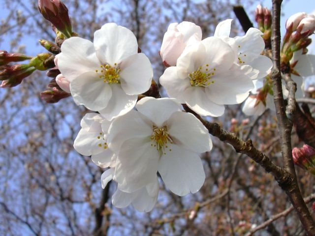 Japanese Cherry Blossum In Early Spring
