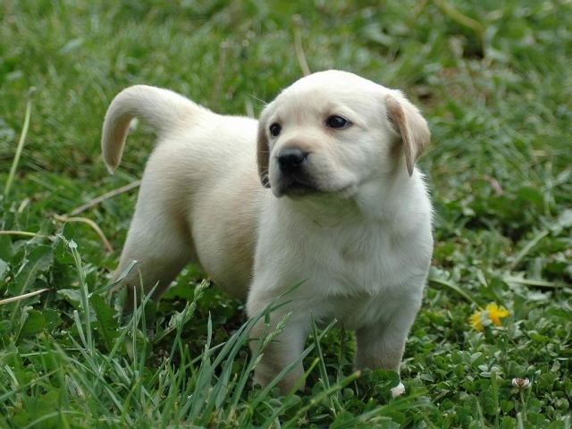 puppies wallpapers. desktop Puppy Wallpaper