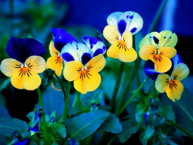 blue flower wallpaper. yellow lue wallpaper